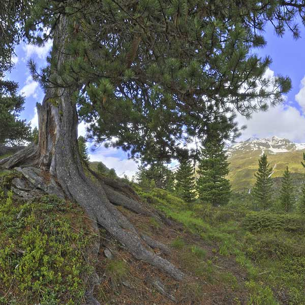 Wurzeln einer Zirbe - Zirbenwald Obergurgl-Hochgurgl