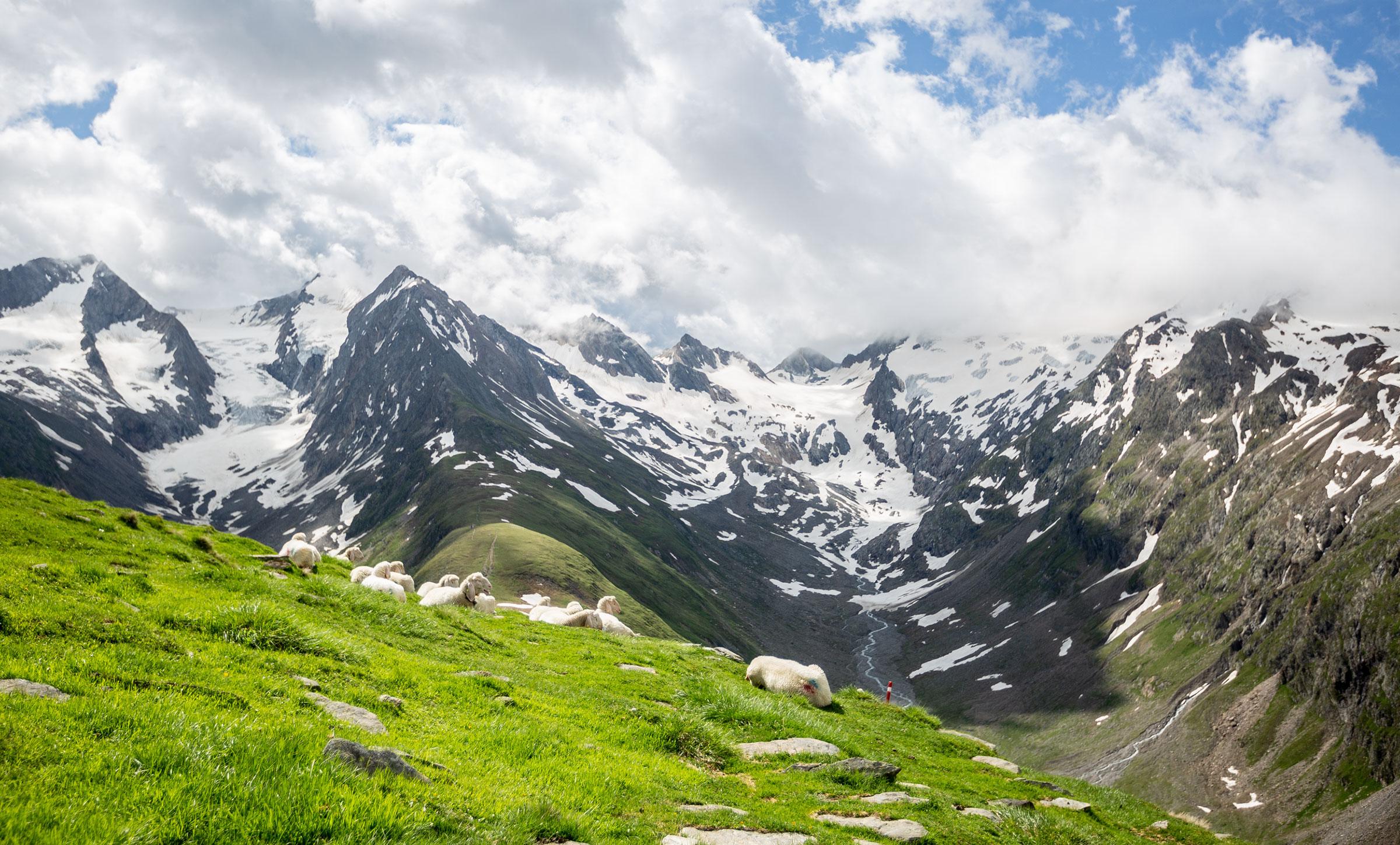 Schafe auf Hohe Mut Alm - Gletscher Trailrun Obergurgl-Hochgurgl